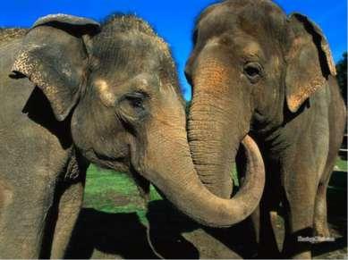 Самая продолжительная беременность у животных У азиатских слонов продолжитель...