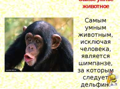 Самое умное животное Самым умным животным, исключая человека, является шимпан...