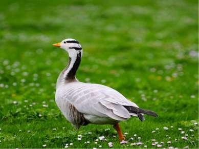 Самая высоко летающая птица Горные гуси — это самые высоко летающие птицы. Ес...