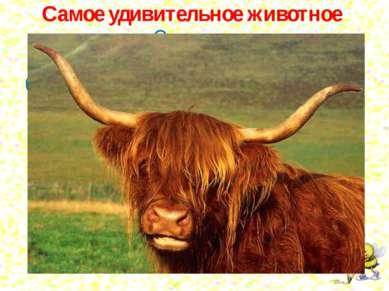 Самое удивительное животное - это як. Он имеет голову коровы, хвост лошади, ...