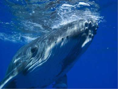 Самое громкое животное Синие киты издают самые громкие звуки в мире, использу...