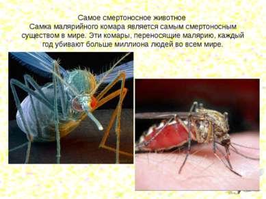 Самое смертоносное животное Самка малярийного комара является самым смертонос...