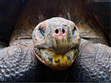 Самое старое животное Самой старой рептилией является галапагосская гигантска...