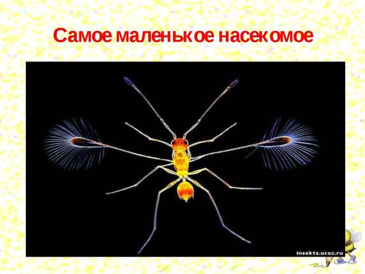 Самое маленькое насекомое Осы-крошки, мимариды — это самые маленькие насекомы...