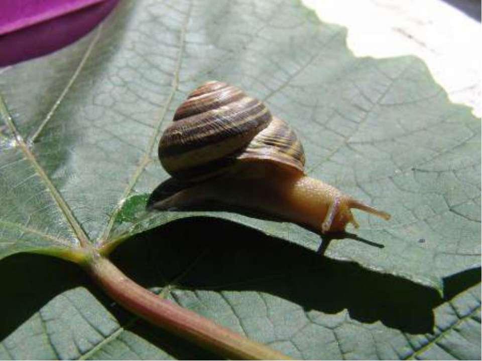 Самое медленное животное Садовая улитка самое медленное животное, которое про...