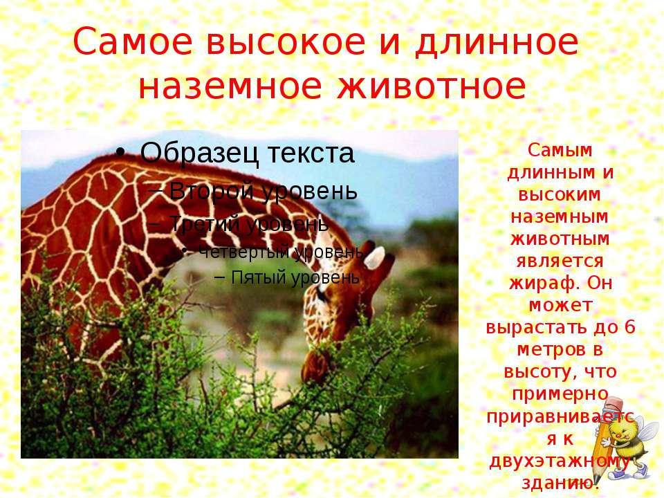 Самое высокое и длинное наземное животное Самым длинным и высоким наземным жи...