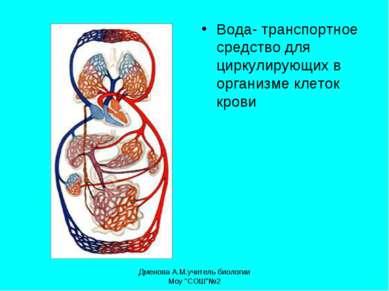 Вода- транспортное средство для циркулирующих в организме клеток крови Дменов...
