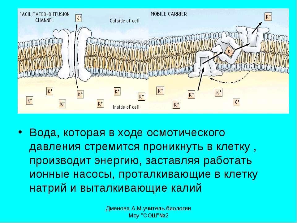 Вода, которая в ходе осмотического давления стремится проникнуть в клетку , п...