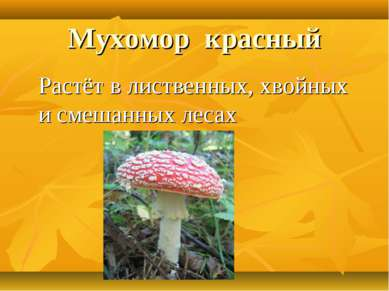 Мухомор красный Растёт в лиственных, хвойных и смешанных лесах