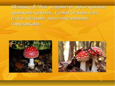 Шляпка до 20см в диаметре ,ярко-красная оранжево-красная , усеяна белыми или ...