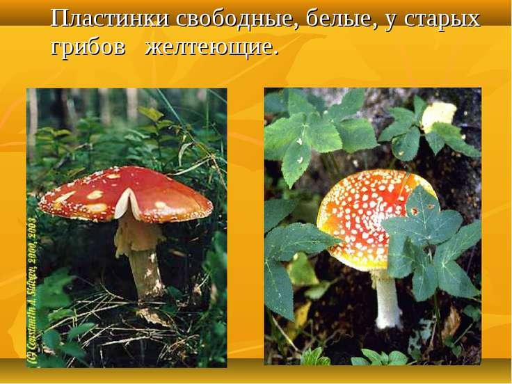 Пластинки свободные, белые, у старых грибов желтеющие.