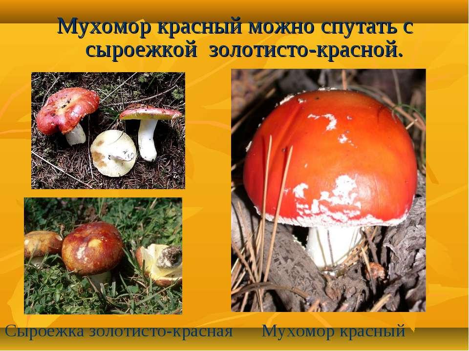 Мухомор красный можно спутать с сыроежкой золотисто-красной. Сыроежка золотис...