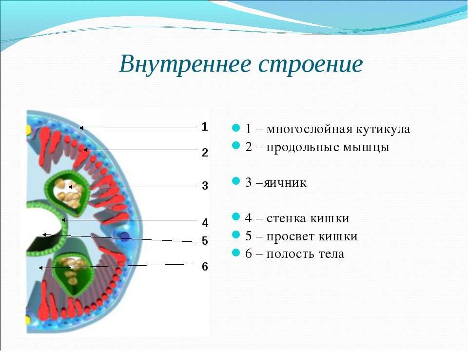 Внутреннее строение 1 – многослойная кутикула 2 – продольные мышцы 3 –яичник ...