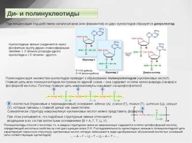 Ди- и полинуклеотиды При конденсации под действием катализаторов (или фермент...