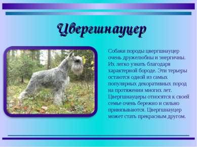 Собаки породы цвергшнауцер очень дружелюбны и энергичны. Их легко узнать благ...