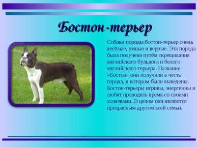 Собаки породы бостон-терьер очень весёлые, умные и верные. Эта порода была по...