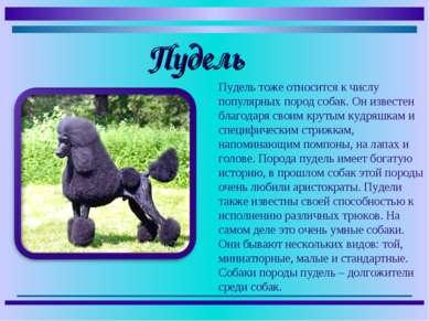 Пудель тоже относится к числу популярных пород собак. Он известен благодаря с...
