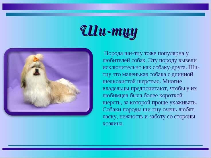 Порода ши-тцу тоже популярна у любителей собак. Эту породу вывели исключитель...