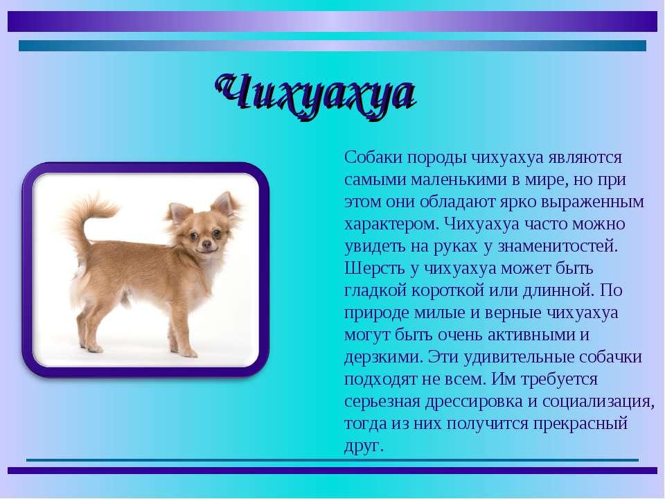 Собаки породы чихуахуа являются самыми маленькими в мире, но при этом они обл...