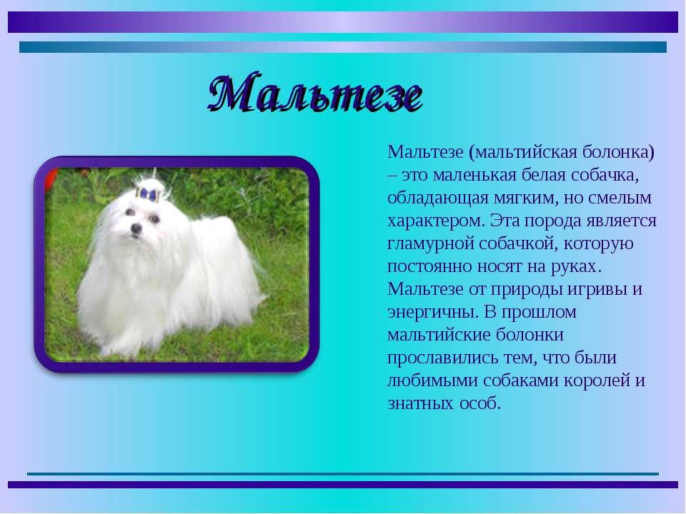 Мальтезе (мальтийская болонка) – это маленькая белая собачка, обладающая мягк...
