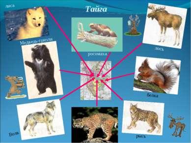 Тайга лиса Медведь-гризли Волк рысь белка лось росомаха
