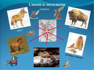 Степи и лесостепи койот бизон Луговые собачки (прерии)