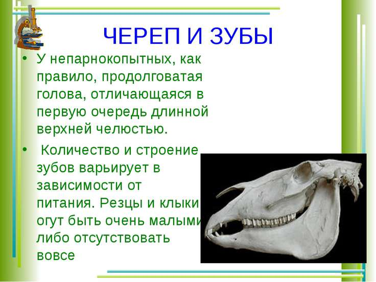 ЧЕРЕП И ЗУБЫ У непарнокопытных, как правило, продолговатая голова, отличающая...
