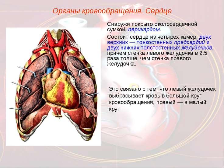 Органы кровообращения. Сердце Снаружи покрыто околосердечной сумкой, перикард...