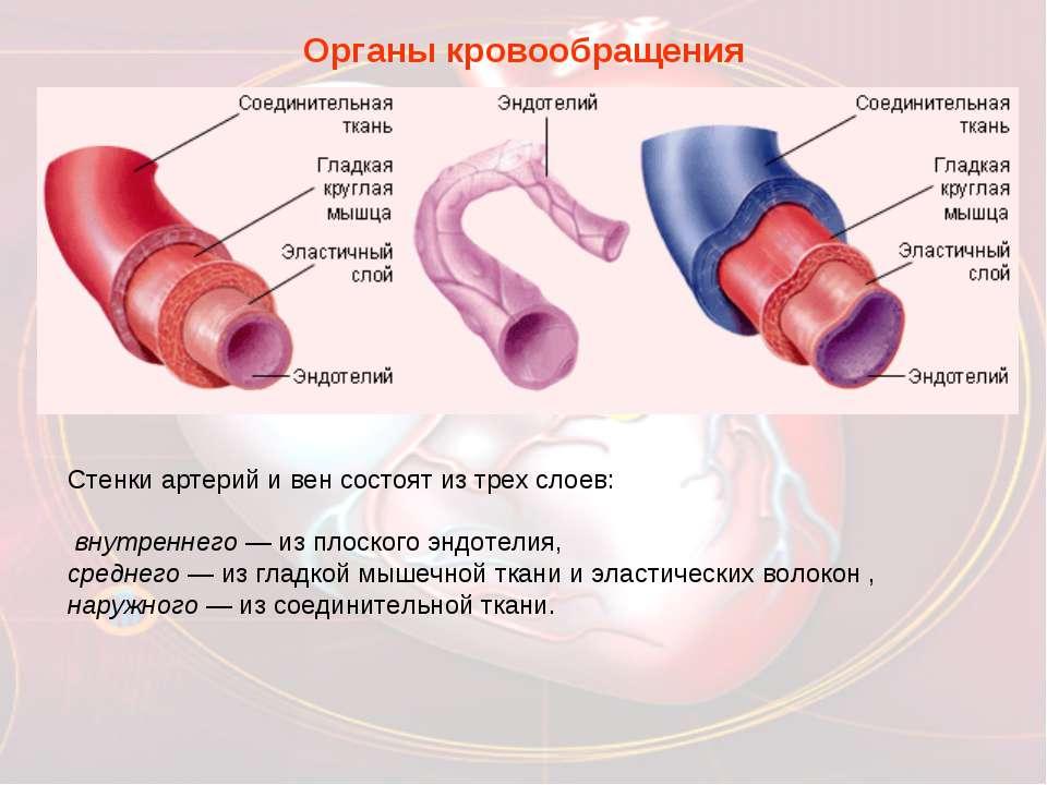 Органы кровообращения Стенки артерий и вен состоят из трех слоев: внутреннего...