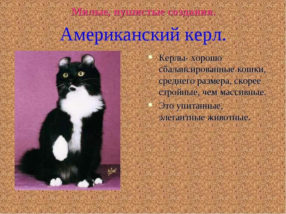 Милые, пушистые создания. Керлы- хорошо сбалансированные кошки, среднего разм...