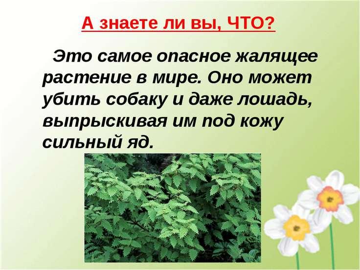 А знаете ли вы, ЧТО? Это самое опасное жалящее растение в мире. Оно может уби...