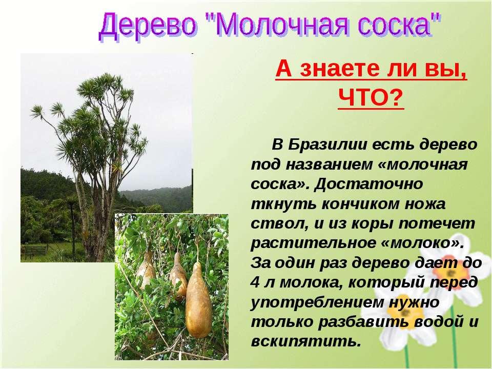 В Бразилии есть дерево под названием «молочная соска». Достаточно ткнуть конч...