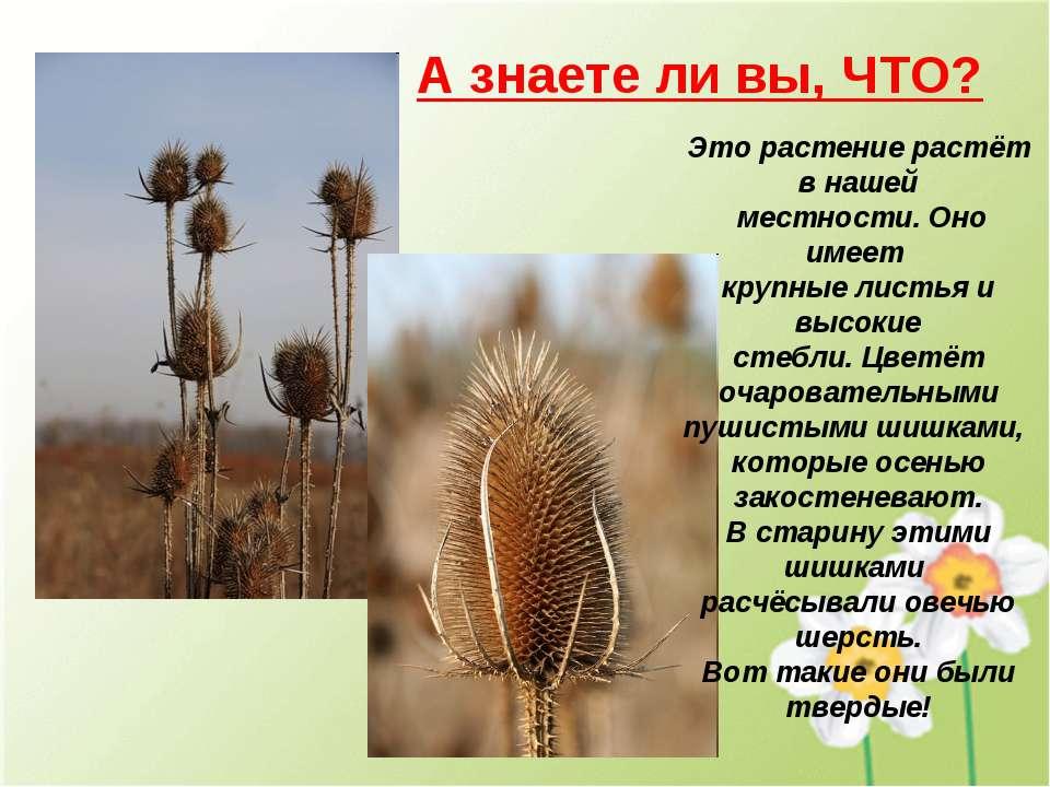 А знаете ли вы, ЧТО? Это растение растёт в нашей местности. Оно имеет крупные...