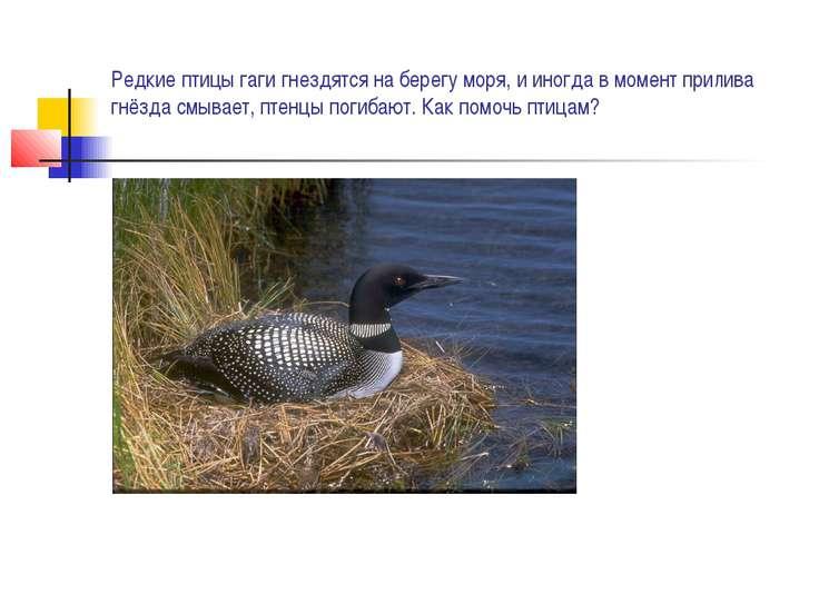 Редкие птицы гаги гнездятся на берегу моря, и иногда в момент прилива гнёзда ...