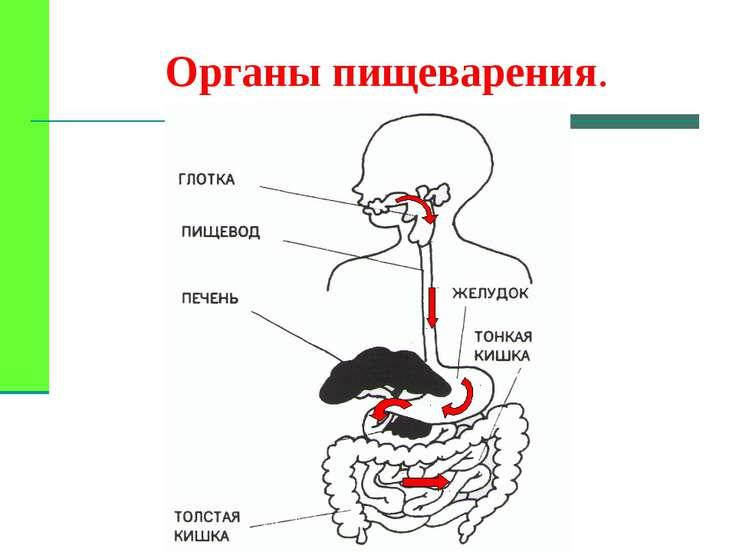 Органы пищеварения.
