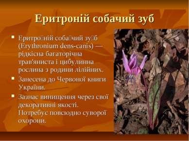 Еритроній собачий зуб Еритро ній соба чий зу б (Erythronium dens-canis) — рід...