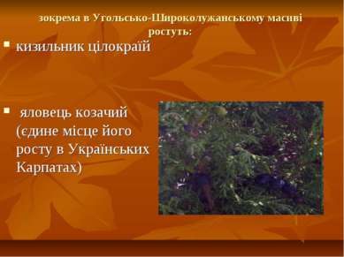 зокрема в Угольсько-Широколужанському масиві ростуть: кизильник цілокраїй яло...
