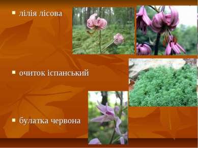 лілія лісова очиток іспанський булатка червона