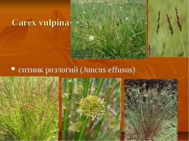 Carex vulpina ситник розлогий (Juncus effusus)