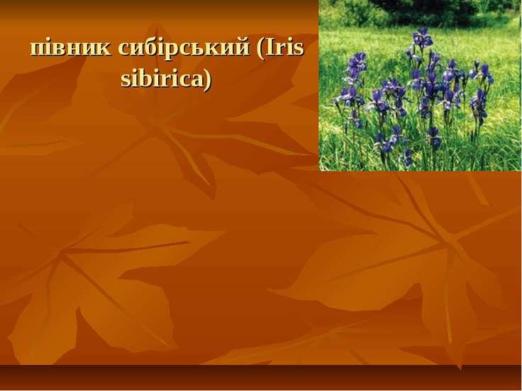 півник сибірський (Iris sibirica)