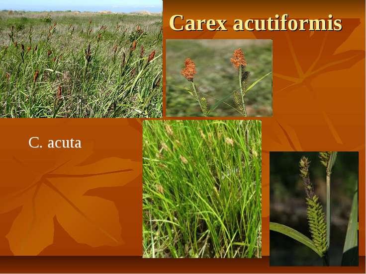 Carex acutiformis C. acuta