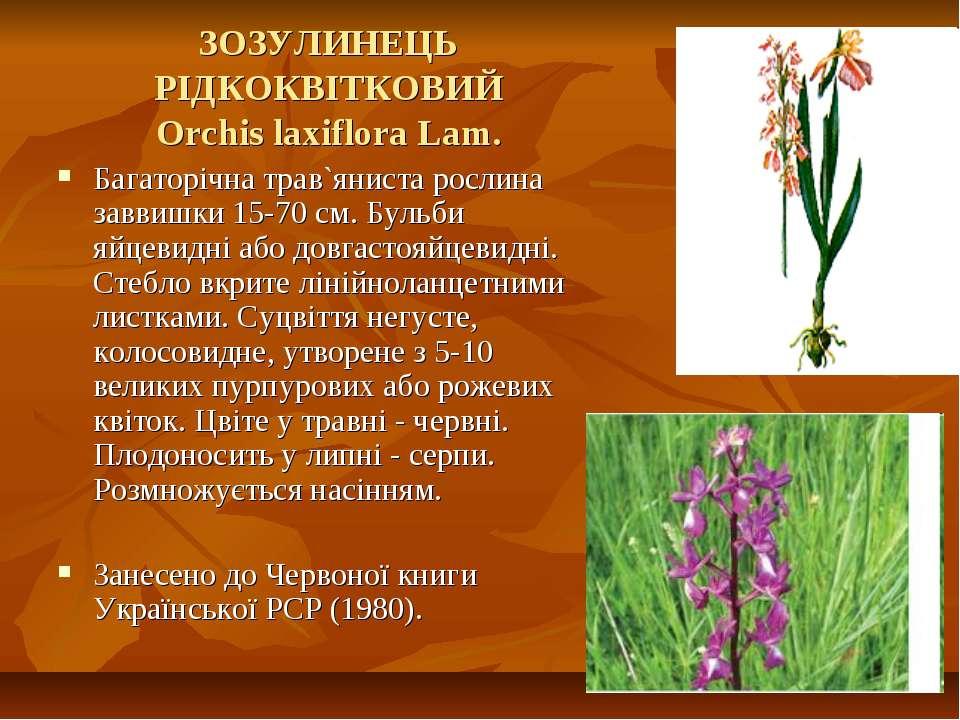 ЗОЗУЛИНЕЦЬ РІДКОКВІТКОВИЙ Orchis laxiflora Lam. Багаторічна трав`яниста росли...