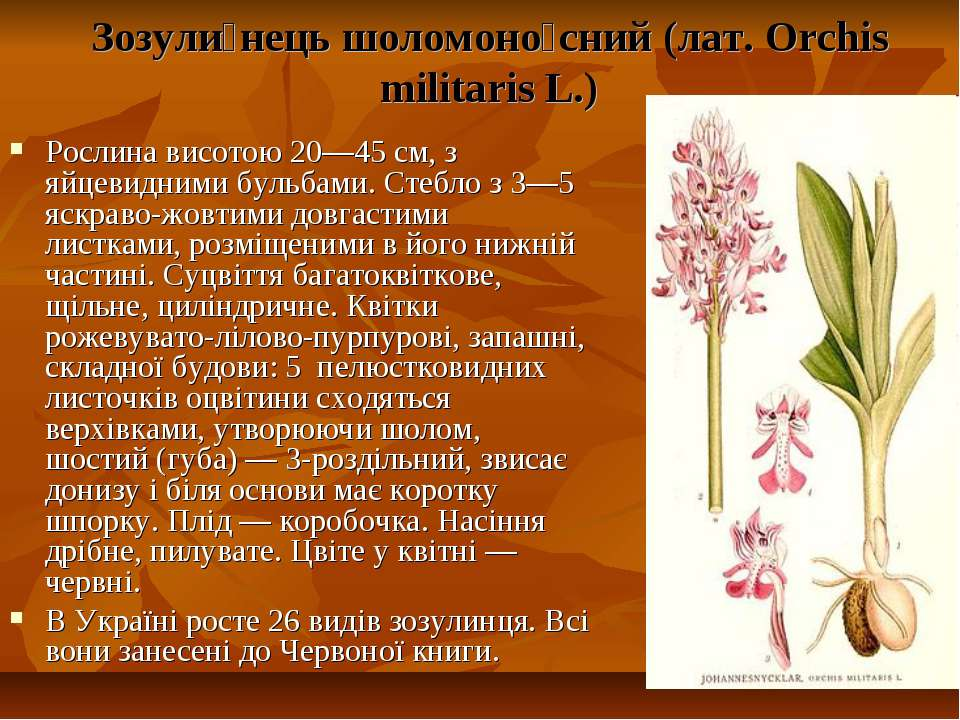 Зозули нець шоломоно сний (лат. Orchis militaris L.) Рослина висотою 20—45 см...
