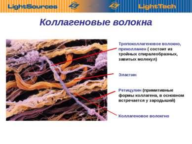 Коллагеновые волокна Тропоколлагеновое волокно, преколланен ( состоит из трой...