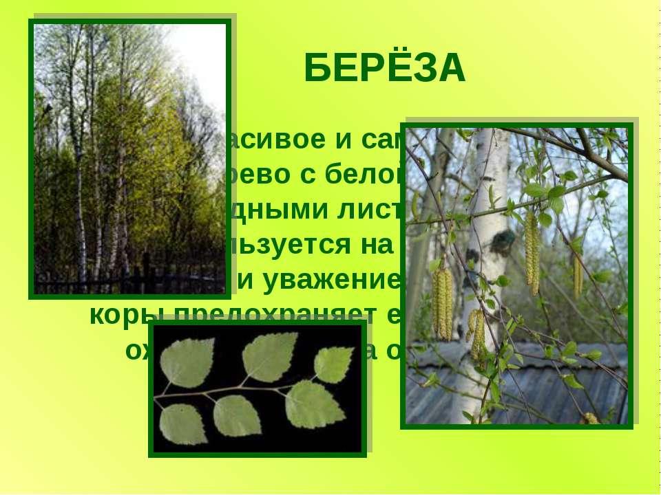 БЕРЁЗА Самое красивое и самое обычное дерево с белой корой и сердцевидными ли...