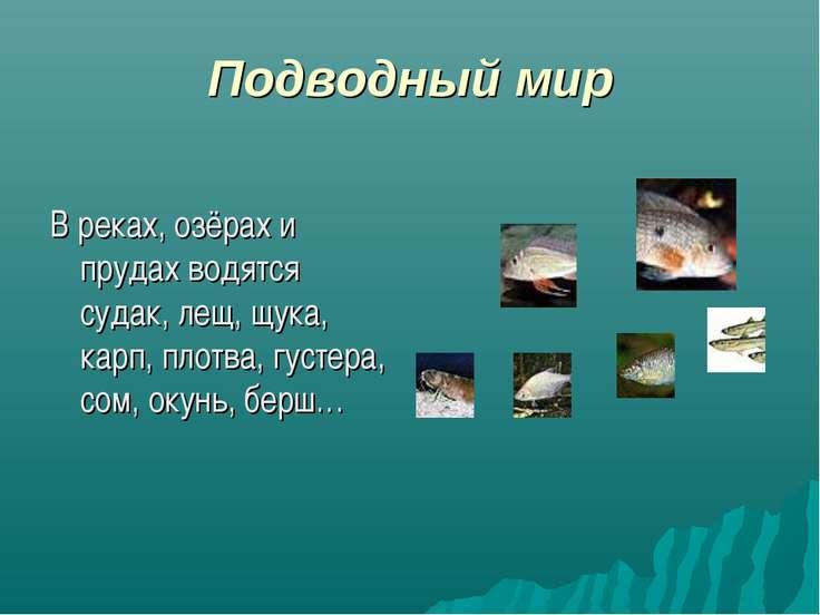Подводный мир В реках, озёрах и прудах водятся судак, лещ, щука, карп, плотва...
