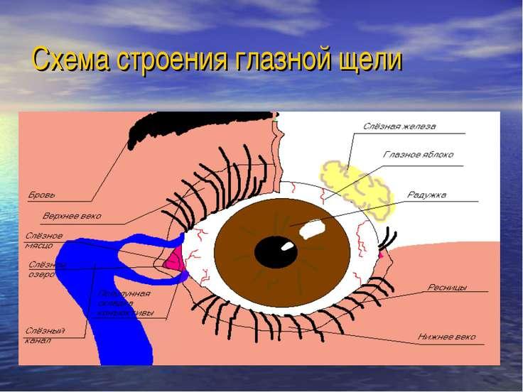 Схема строения глазной щели