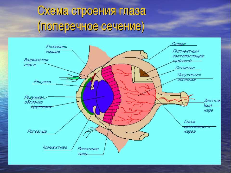 Схема строения глаза (поперечное сечение)