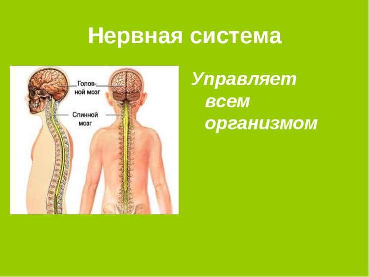Нервная система Управляет всем организмом