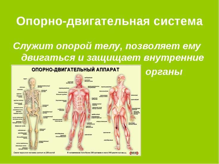 Опорно-двигательная система Служит опорой телу, позволяет ему двигаться и защ...